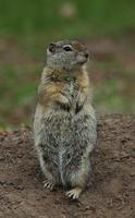 Image of: Spermophilus beldingi (Belding's ground squirrel)