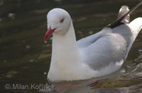 Larus cirrocephalus - Grey-headed Gull
