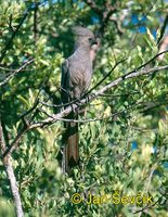Corythaixoides concolor - Grey Go-away-bird