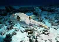 Image of: Arothron hispidus (poison puffer)