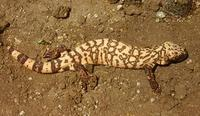 Image of: Heloderma suspectum (gila monster)