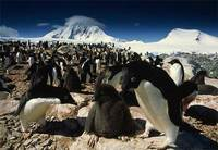 Photo: An Adélie penguin rookery