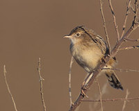 Zitting Cisticola (Cisticola juncidis) photo