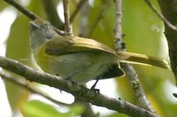 Lemon-chested Greenlet - Hylophilus thoracicus