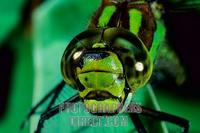 Southern Hawker ( Aeshna cyanea ) stock photo