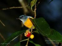 Orange-bellied Flowerpecker (male)