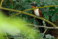 Chestnut-winged Cuckoo (Clamator coromandus)