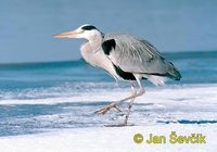 Photo of volavka popelavá, Ardea cinerea, Fischreiher, Grey Heron