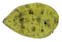 Synaptura nigra, Black sole: fisheries