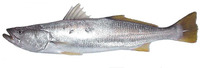 Cynoscion stolzmanni, Stolzmann's weakfish: fisheries, gamefish