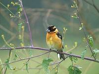 Black-headed Grosbeak (Pheucticus melanocephalus) photo