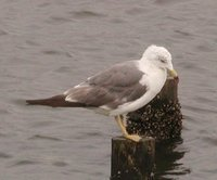 Black-tailed Gull - Larus crassirostris