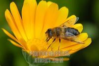 hover fly ( Eristalis tenax ) sitting on a blossom stock photo