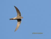 Pacific swift C20D 03121.jpg