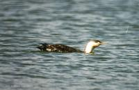 아비 Red-throated Loon Gavia stellata