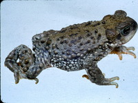 : Bufo spinulosus; Warty Toad