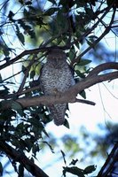 : Ninox strenua; Powerful Owl