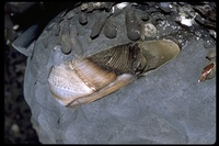 : Parapholas californica; Scale-sided Piddock Clam