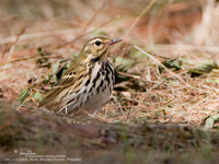 Olive Tree-Pipit Scientific name - Anthos hodgsoni