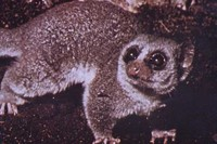 photograph of a dwarf lemur