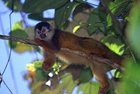 photograph of a squirrel monkey