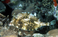 Acanthostracion polygonius, Honeycomb cowfish: fisheries, aquarium