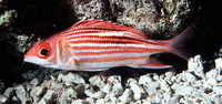Sargocentron microstoma, Smallmouth squirrelfish: aquarium