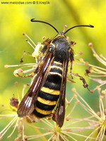 Pennisetia hylaeiformis - Raspberry Clearwing Moth
