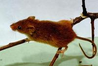 Image of: Micromys minutus (Eurasian harvest mouse)