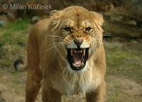 Panthera leo leo - Barbary Lion
