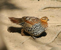 Image of: Bambusicola fytchii (mountain bamboo-partridge)