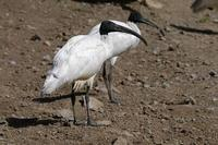 Image of: Threskiornis melanocephalus (black-headed ibis)