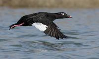 White-winged Scoter (Melanitta fusca) photo
