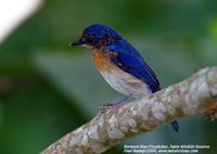 Bornean Blue-Flycatcher - Cyornis superbus