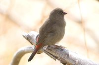 Beautiful Firetail - Stagonopleura bella