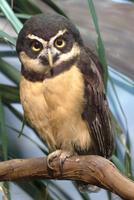 Spectacled Owl (female)