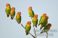 Lillians ( Nyasa ) Lovebirds on branch stock photo