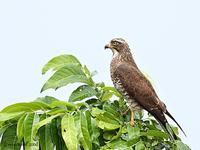 Gray-faced Buzzard Butastur indicus