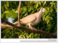 Eurasian Collared Dove IMG 5606.jpg