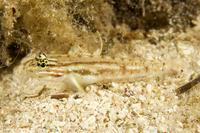 : Coryphopterus glaucofraenum; Bridled Goby