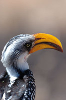 : Tockus flavirostris; Yellow Billed Hornbill