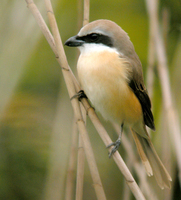 노랑때까치 Lanius cristatus | brown shrike