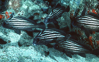 Pareques acuminatus, High-hat: fisheries, aquarium