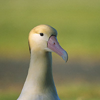 Short-tailed Albatross (Phoebastria albatrus) photo