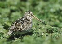 South American (Magellan) Snipe (Gallinago paraguaiae) photo