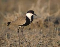 Spur-winged Plover (Vanellus spinosus) photo