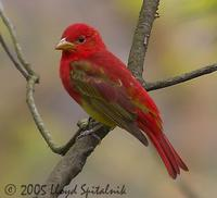 Summer Tanager (1st spring male)
