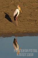Yellow billed stork and reflection stock photo