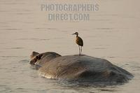 African Jacana standing on hippos back stock photo