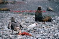...FT0151-00: Dark morph Southern Giant Petrel with remains of meal watched by a sheathbill & fur s